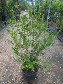 Buxus sempervirens SIEPE vaso 24