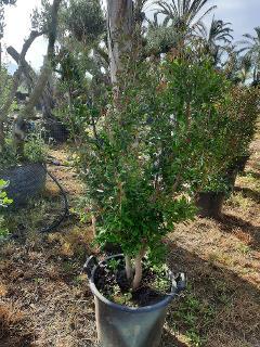 MELOGRANO DENTE DI CAVALLO albero da frutto MASTELLO 35