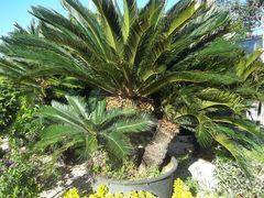 Cycas revoluta - Arbusti