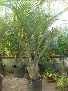 Dypsis decaryi in vaso