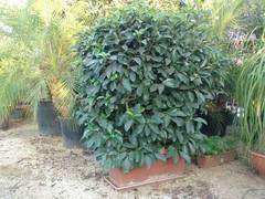 Viburnum lucidum in vaso