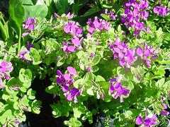 Polygala myrtifolia IN VASO