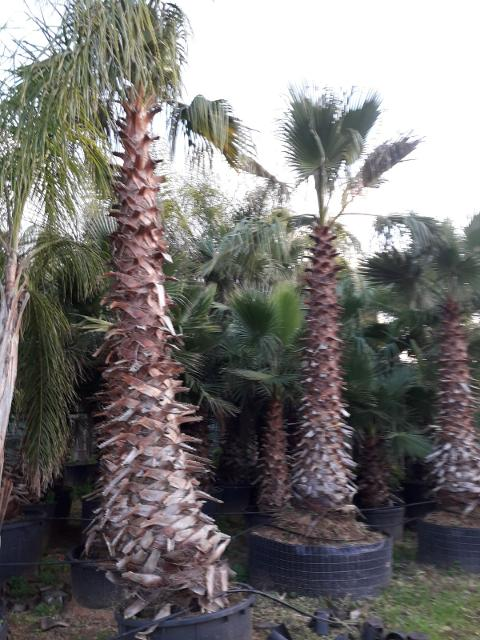 Washingtonia Robusta in vaso o zollate   - Balestrate (Palermo)