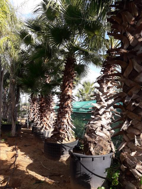 Washingtonia Robusta  ORNAMENTALE VASO 200.L- ALT-DA 3\4 M-TRONCO