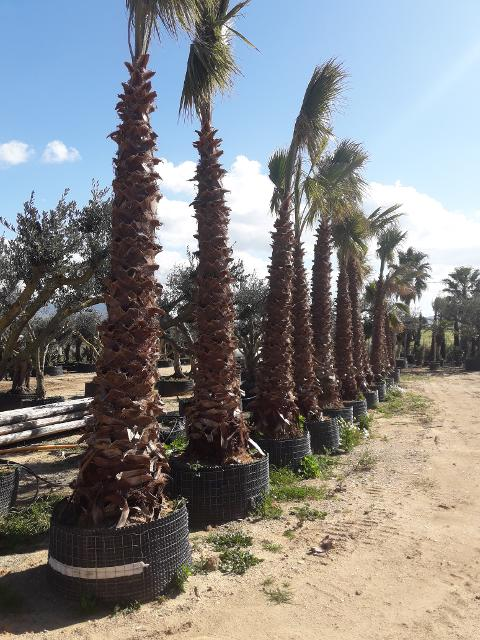 Washingtonia Robusta in vaso o zollate