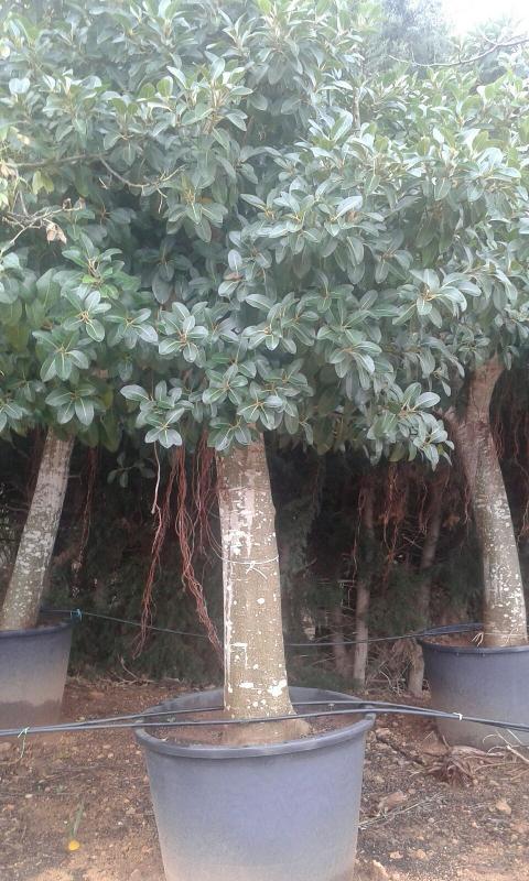 FICUS BENGIAMIN  albero VASO 240 L