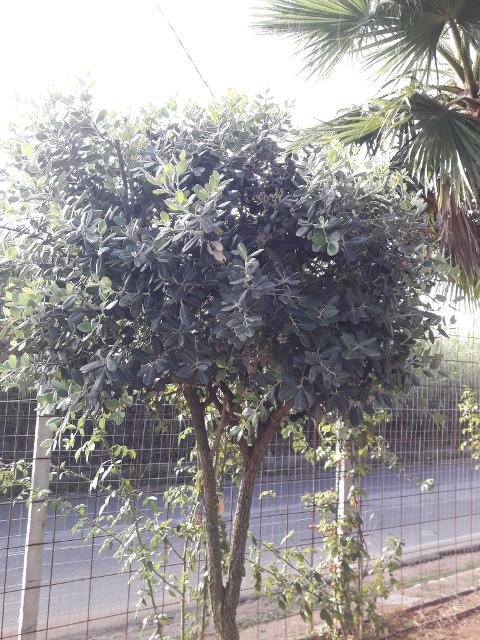 METROSIDEROS ALBERELLO  albero VASO 35