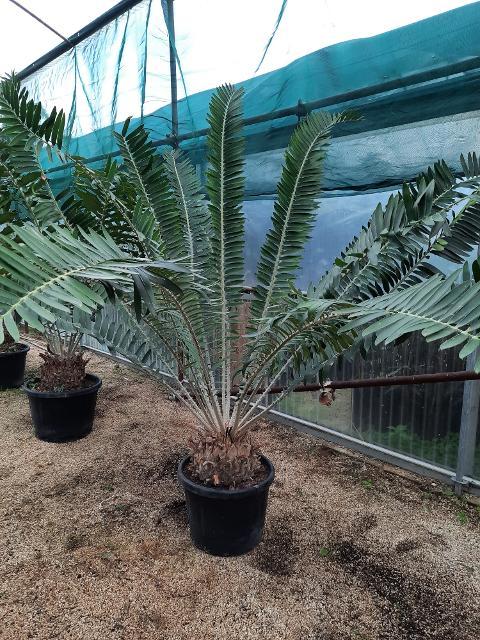 Encephalartos gratus ORNAMENTALE VASO 35\40