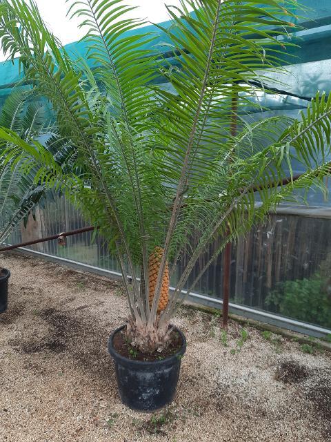 Encephalartos villosus  ORNAMENTALE VASO 35\40