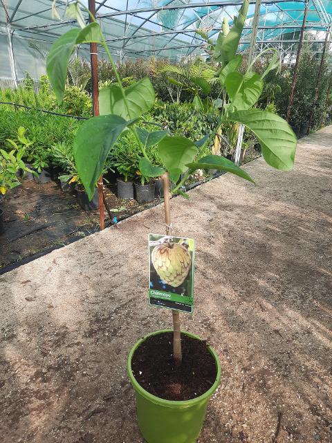 ANNONA CHERIMOLA  albero VASO CONICO 16\18