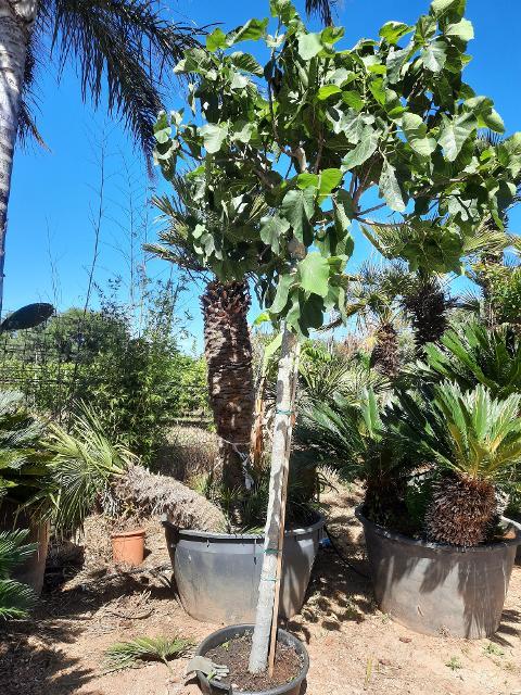 FICO BRIGITTO BIANCO  albero da frutto VASO 60 L