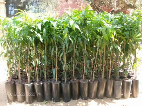Mango piante in vaso Mango innestato