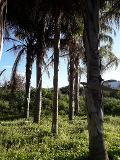 COCUS PLUMOSA DA ZOLLA ALT. 16 MT