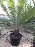 CYCAS DIOON IN VASO