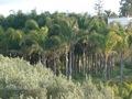 Cocos plumosa, produzione e vendita