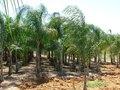 cocos plumosa da zolla
