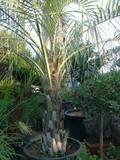 Cocos australis IN VASO