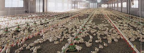 Alimentazione Automatica per Polli e Anatre RP