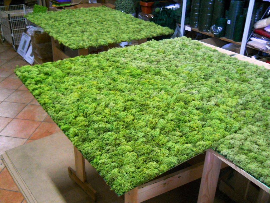 Pareti Verdi Verticali Costi parete moss stabilizzata wall moss a metro quadrato - san