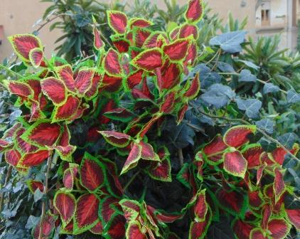 Bush di Coleus  componibile