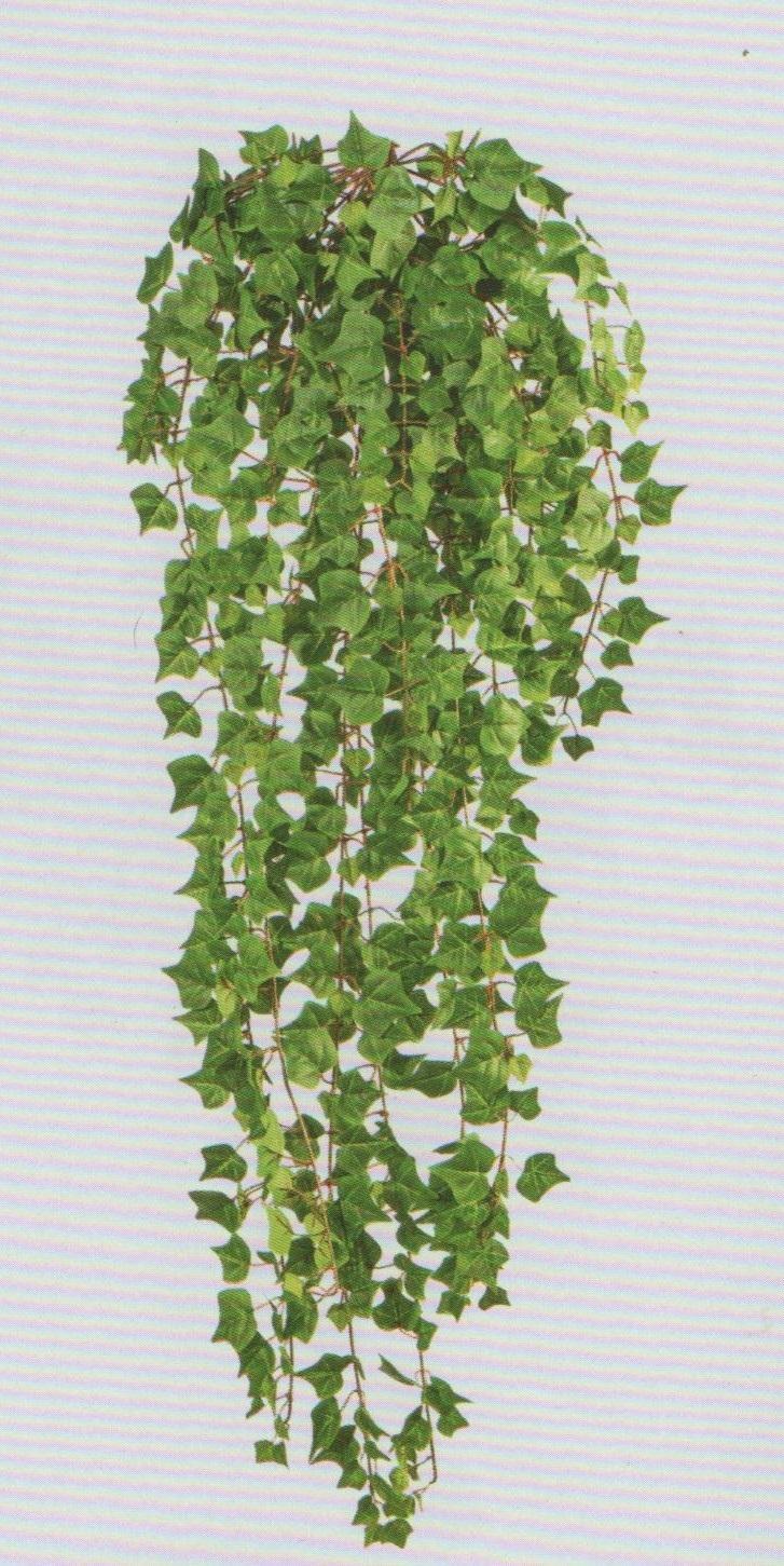 Edera Pianta Da Interno edera inglese cadente h 115 con 618 foglie - san michele di