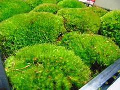 Muschio Finlandese Ball Moss fresco cassetta Kg.3,2/3,5