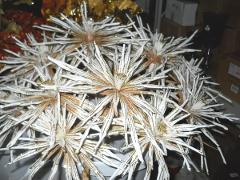 Clematis Glitterata   H 66