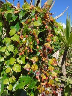 Ramo Ribes  lungo cm. 95 2 modelli