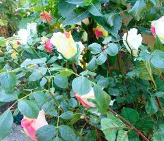 Bocciolo di rosa velvet