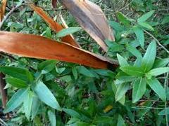 Corteccia Naturale di Eucaliptus  curvo gr. 500