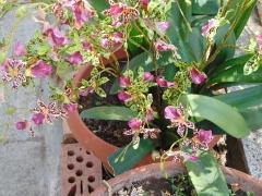Orchidea Danzante Artificiale H 120 - Sconti per Fioristi e Aziende