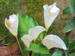 Calla Plant x 5 fogliata