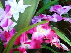 Orchidea x 7 H 60 con 2 foglie