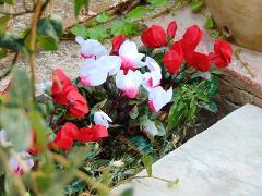 Ciclamino persicum bush x 16