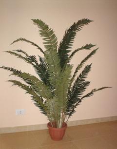 Felce Tropicale H 185 con 24 foglie in vaso