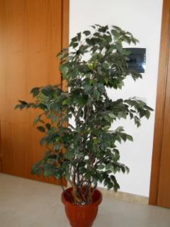 Ficus Twisted H 200  con 1634 foglie verdi