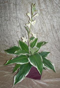 Hosta Fasciata x 18  fiorita
