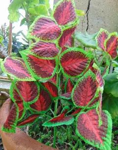 Coleus Bush x 6 Artificiale in poliestere per fioristi e wedding