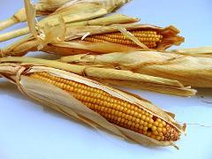 Pannocchie di mais preservato su stelo H 120 in Confezione 5 rami