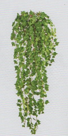 Edera Inglese Cadente  H 115  con 618 foglie