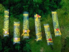 Mimosa fresca  in tubo PVC cm. 20 - Sconti per Fioristi e Aziende