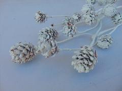 Salignum Naturale Stabilizzato Con pigne -  Sconti per fioristi e Aziende diverse