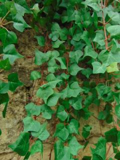 Edera Artificiale H 90 Pitzsburgh  con 371 foglie - Sconti per Fioristi e Aziende