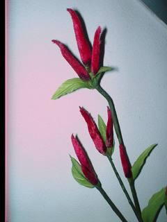 Peperoncino velluto  Evergreens