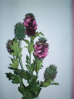 Banksia x 5 wild