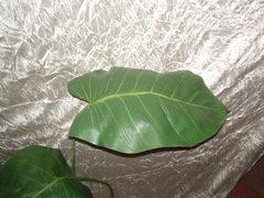 Foglia di Filodendro H 73 verde