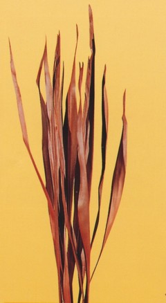 Palm Sun Stabilizzato H 130 Naturale Conf. 10 foglie