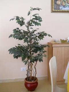 Ficus Twisted H 160 con 1075 foglie