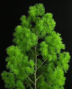 Asparagus  Myrocladius naturale stabilizzato