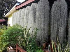 Tillanzia Stabilizzata  gr. 300 (Forest Moss)